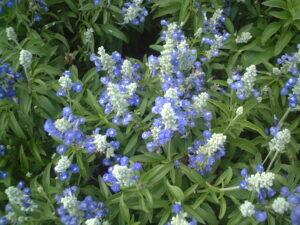 Salvia Strata bicolor