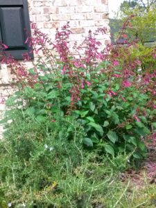 Salvia Wendys Wish St Johns Florida Greencove Springs
