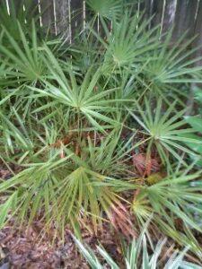 Saw palmetto St. Johns Florida