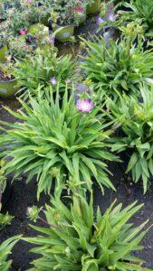 Stokesia Purple