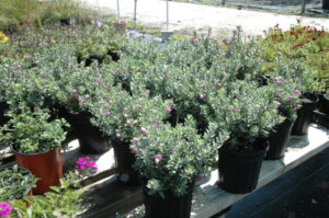 Texas sage Nursery crop three gallons