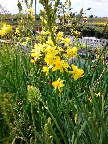 Bulbine Yellow S & J Nursery in bloom
