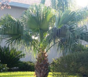 Chinese fan palm planted into an Island bed in the middle of the lawn in the Jacksonville Florida landscape