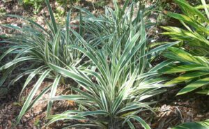 Cluster of Variegated Flax Lily Dianella tasmanica in the St. Augustine Florida landscape