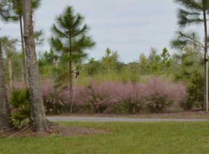 Muhly Grass in large mass next to a disewalk in an All Florida native planting under Pine trees