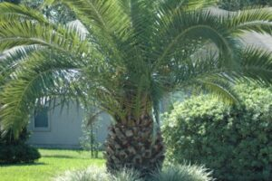 Canary Island Daste palm underplanted with Aztec border grass in St. Augustine Florida