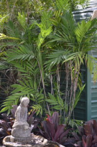 Hardy bamboo palm as a backdrop against office building in a nursery pot St. Augustine Florida