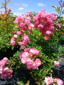 Rose Pick Nick Heirloom Polyantha
