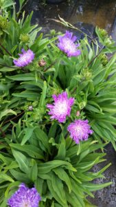Stokesia Purple parasol St Augustine Florida