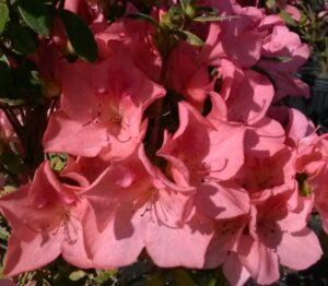 Azalea Duc De Rohan Blooms up close in a cluster