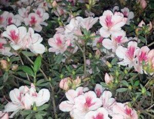 Azalea duchess of cypress blooms