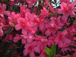 Azalea Southern Charm Pink Blooms