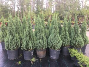 larger 15 galloon pot blue point Juniper shaped to a narrow point
