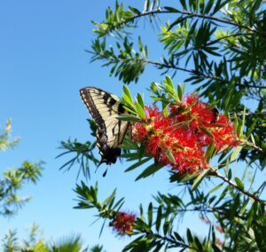 Butterfly on bottlebrush bloom St. Augustine Florida