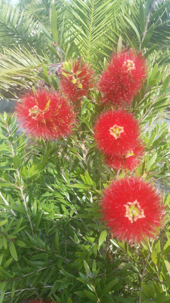 Bottlebrush Dwarf Macarthur blooms