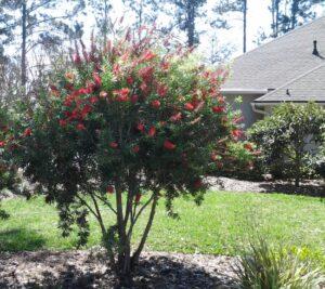 Bottlebrush Red Cluster Multi trunk St. Augustine Florida