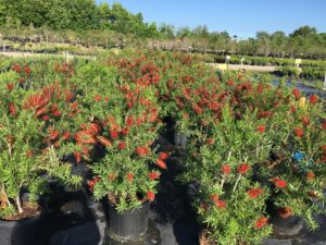 Bottlebrush Red Cluster nursery crop of 7 gallon pots blooming