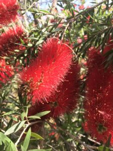 Bottlebrush Slim blooms up close