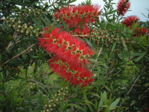 Bottlebrush Red Cluster blooms up close Jacksonville Florida