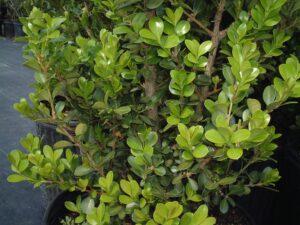 Boxwood Little leaf or Japanese Boxwood foliage and stems