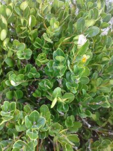 Boxwood foliage from above
