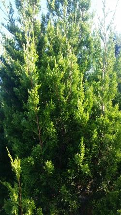 Brodie Cedar foliage