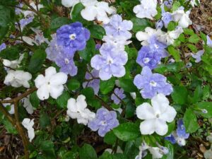 Brunfelsia Yesterday today and tomorrow blooms up close showing color changes