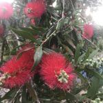 Scarlet Bottlebrush Blooms