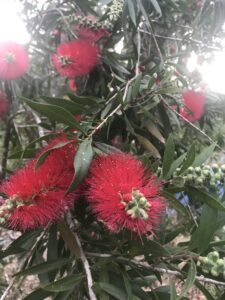 Scarlet Bottlebrush Blooms
