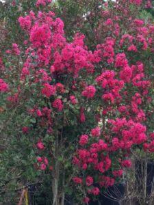 Crape Myrtle Pink velour blooms