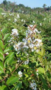 Acoma crape myrtle bloom up close