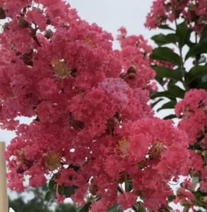 Tuscarora Crape Myrtle Bloom up close