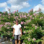 Muskogee lavender crape myrtle nursery crop in full bloom