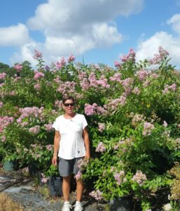 Muskogee lavender crape myrtle nursery crop in full bloom