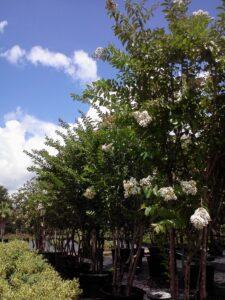 White Natchez Crape Myrtle nursery Crop St. Augustine Florida