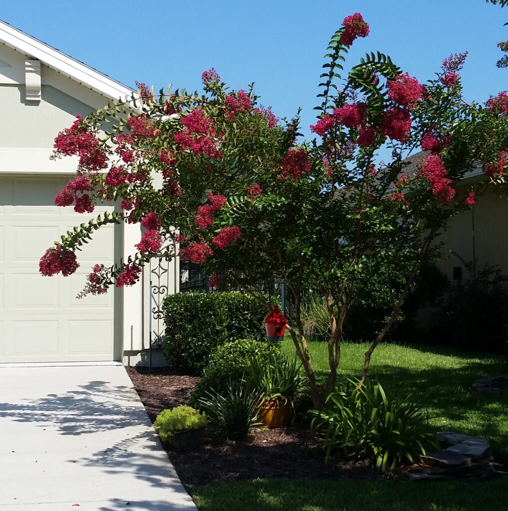 Tonto Crape Myrtle blooming on new growth