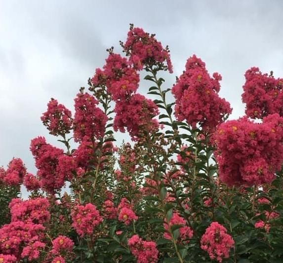 Crape Myrtel Tuscarora blooms sky