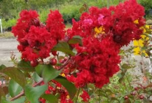 Crape Myrtel Red rocket newly opening flower buds up close St Augustine Florida