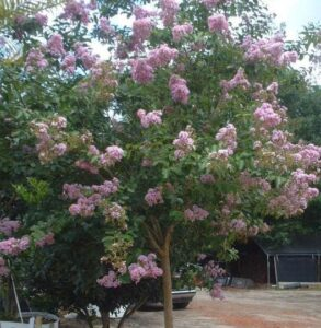 Muskogee Crape myrtle single trunk in full bloom