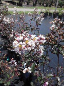 Burgundy Cotton rape Myrtle blooms up close St. Augustine Florida