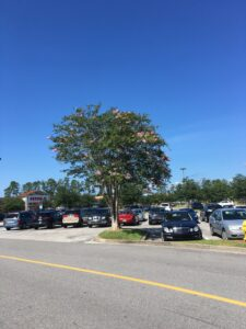 Crepe Myrtle as a parking lot Island tree Jacksonville Florida