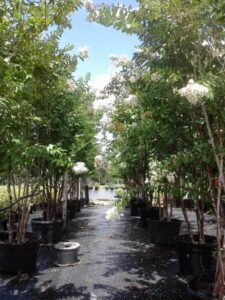 White natchez crepe myrtle St. Augustine Florida S & J Nursery crop