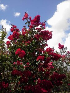 Crape myrtle Red Rocket booms