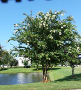 Natchez Crape Myrtle by a pond Jacksonville Florida
