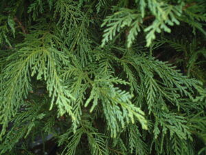 leyland cypress foliage up close