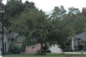 Drake Elm shade tree Jacksonville Florida home landscape front yard