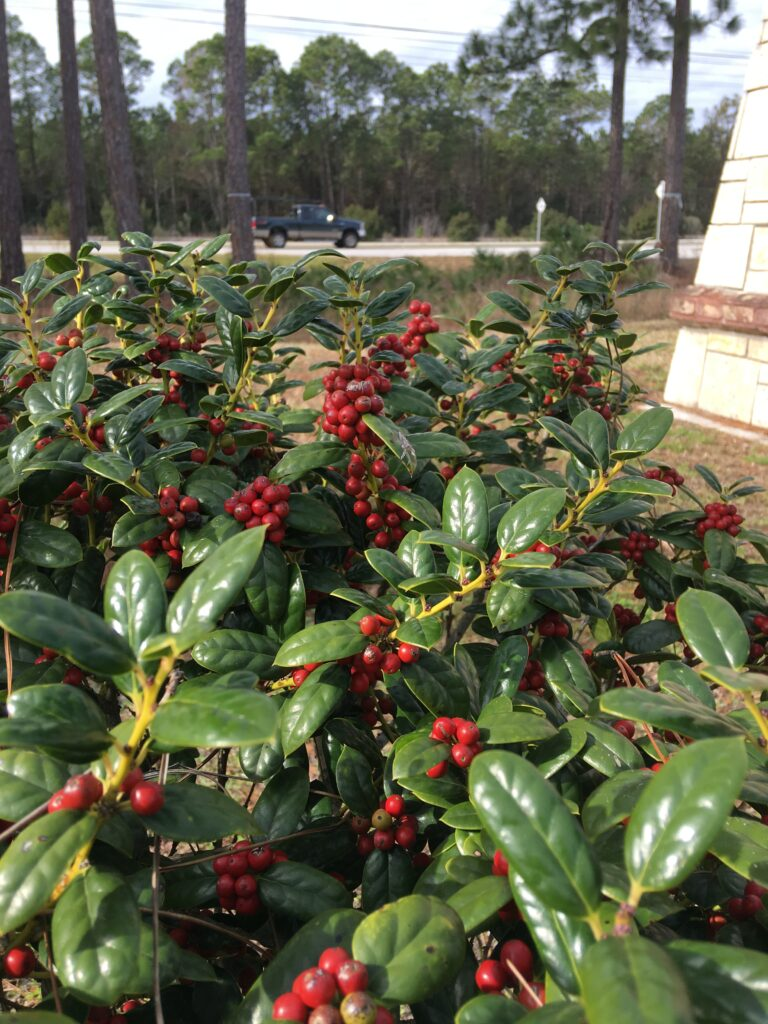 Holly Dwarf Burfordii with berries St. Augustine Florida