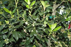 Dwarf Burfordii Holly foliage up close with tiny white blooms showing