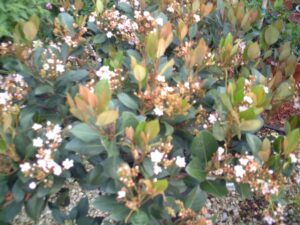 Indian hawthorne Flowers and new growth showing bronze pink color