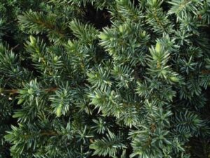 Juniper Blue Pacific foliage up close
